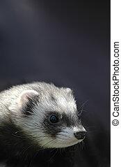 ferret portrait - portrait of a cute pet ferret