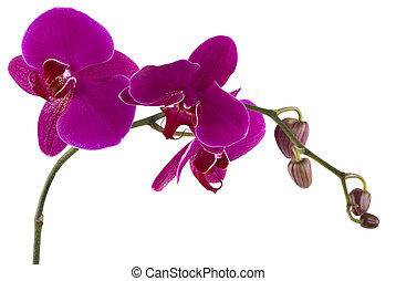 Orchid - Beautiful fresh orchid