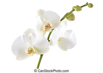 Orchid - White orchid