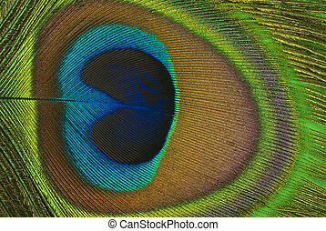 Peacock Feather - Peacock feather background(macro)
