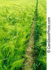 narrow path through a green wheat field