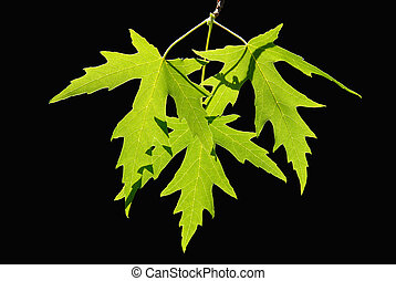 Spring Maple Leaves - Backlit Detail of Spring Green Maple...