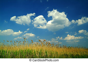 reed under blue sky - reed under a beautiful blue sky with...