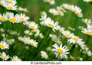 Camomiles - Blooming wild chamomile flowers in the field