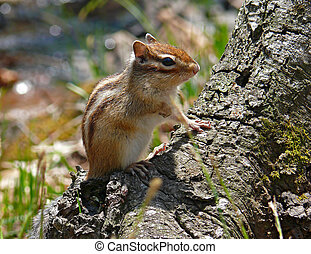 Siberian Chipmunk 1 - A close-up of siberian chipmunk Tamias...