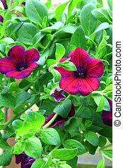 Petunia flowers,outdoor,hanging