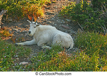 Mountain Goat resting in shade - Mountain Goat (oreamnos...