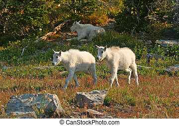 Mountain Goat Kids - Mountain Goat (oreamnos americanus),...