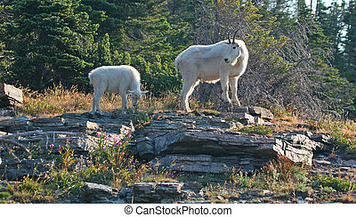 Mountain Goat with Kid - Mountain Goat (oreamnos...