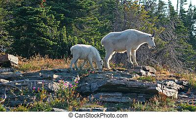 Mountain Goat with Kid - Mountain Goat (oreamnos...
