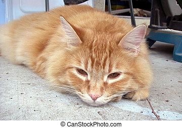 Close up of orang cat - Close up of an orange cat laying his...