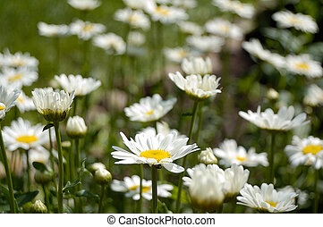 daisy - daisies in summer day