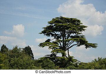 cedar tree - Magnificent cedar tree (cedrus libani....
