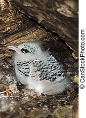 White-tailed Tropicbird chick - Nestling of White-tailed...