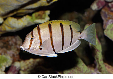 Convict Surgeonfish - Underwater view of a Convict...