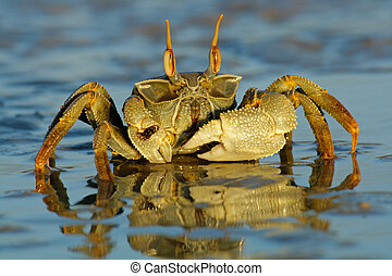 Ghost crab (Ocypode sp.) on the beach, Mozambique, southern...