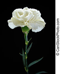 White Carnation on Black