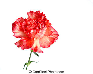 Red Carnation Isolated On White...
