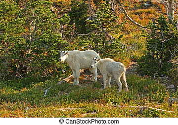 Mountain Goats - Mountain Goat (oreamnos americanus),...