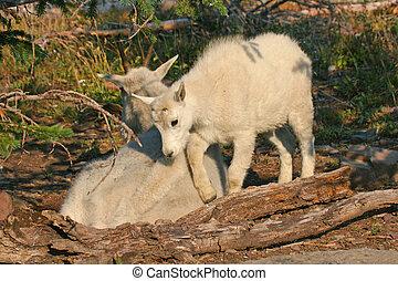 Mountain Goat with Kid - Mountain Goat (oreamnos americanus)...