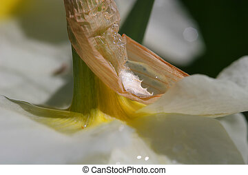 Daffodil - Water drops on narcissus petals after the heavy...
