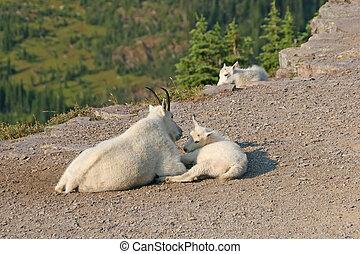 Mountain Goat with kids - Mountain Goat (oreamnos...