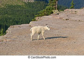 Mountain Goat Kid - Mountain Goat (oreamnos americanus),...