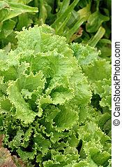 Lettuce Garden - A beautiful lettuce garden growing in...