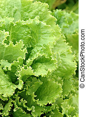 Lettuce Garden - A beautiful lettuce garden growing in...