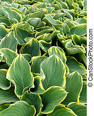 green and white leaves - Background of green and white...