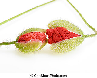 poppy buds - Pair of red kissing poppy buds on white...