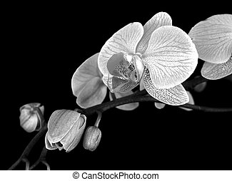 orchid stem black&white - Black and white shot of a stem of...