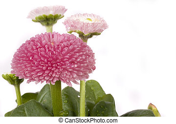 pink daisy - An isolated pink daisy covered in water drops...