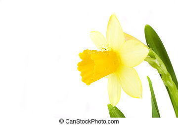 yellow daffodil - yellow spring daffodil on white background...