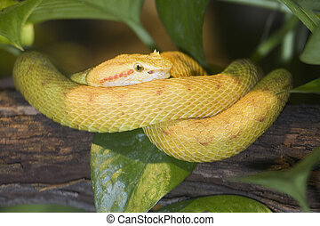 Eyelash Viper (Bothriechis schleglii) Native to the rain...