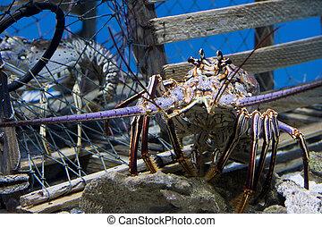 Lobster - Caribbean Spiny Lobster also knowen as the Florida...