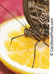 Owl Butterfly Caligo species feeding on cut fruit orange...