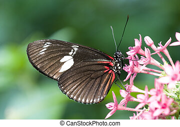 Crimson-patched Longwing Butterfly (Heliconius erato) Also...