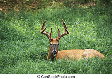 Deer - White Tailed Deer (Odocoileus virginianus) in velvet,...