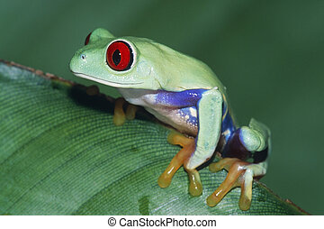 Red-eyed Treefrog Agalychnis callidryas