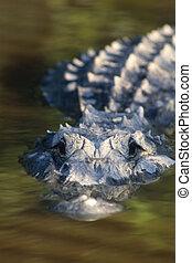American Alligator (Alligator mississippiensis...