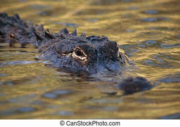 American Alligator (Alligator mississippiensis...