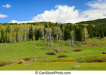 Mountain Meadow - Aspen and pine trees watch over a bright...
