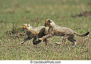 Cheetah Cub (Acinonvx jubatus) playing in the Masai Mara...