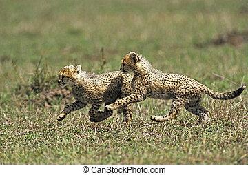 Cheetah Cub (Acinonvx jubatus) playing in the Masai Mara...