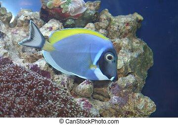 Acanthurus Leucosternon, Tropical fish - Acanthurus...