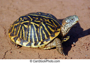 Box Turtle - A box turtle crawling across the red dirt of...