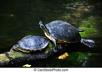 Sea turtles - Two sea turtles taking a sun bath