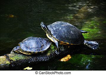 Sea turtles - Two sea turtles taking a sun bath