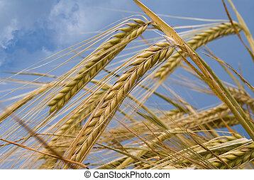 Wheat ears against the blue cloudy sky